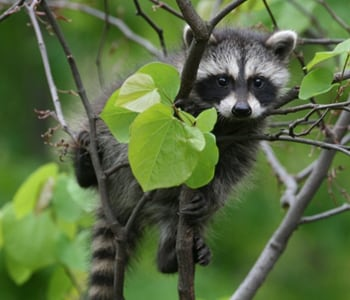 4 Myths About Baby Wildlife