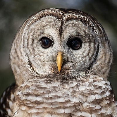 Looking and listening for owls in Northeast Ohio