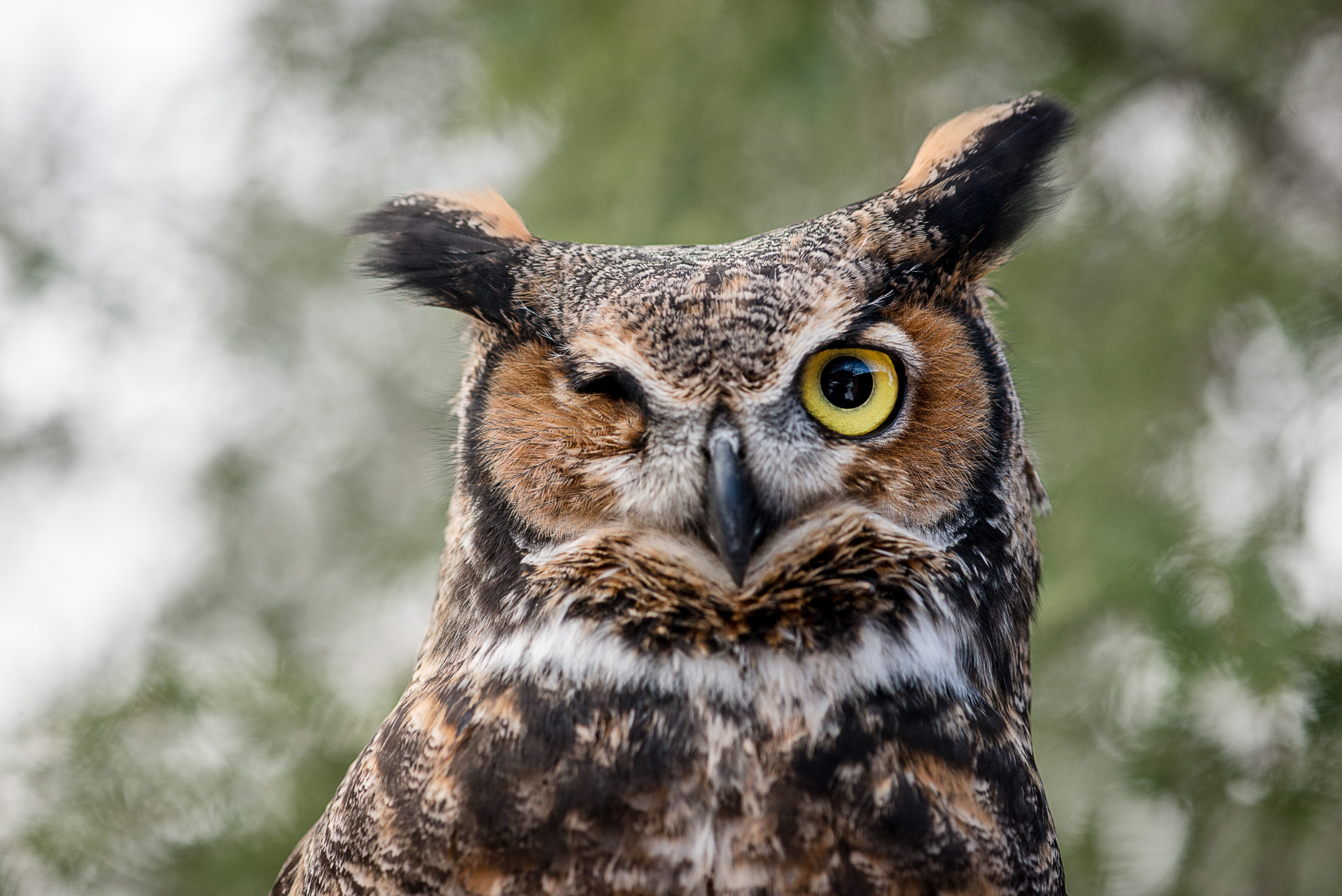 5 things you didn't know about Great Horned Owls
