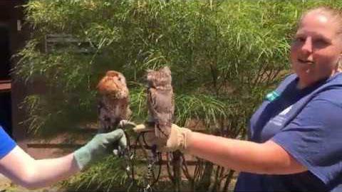 Eastern Screech Owl info video