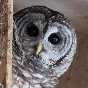 Barred Owl winter