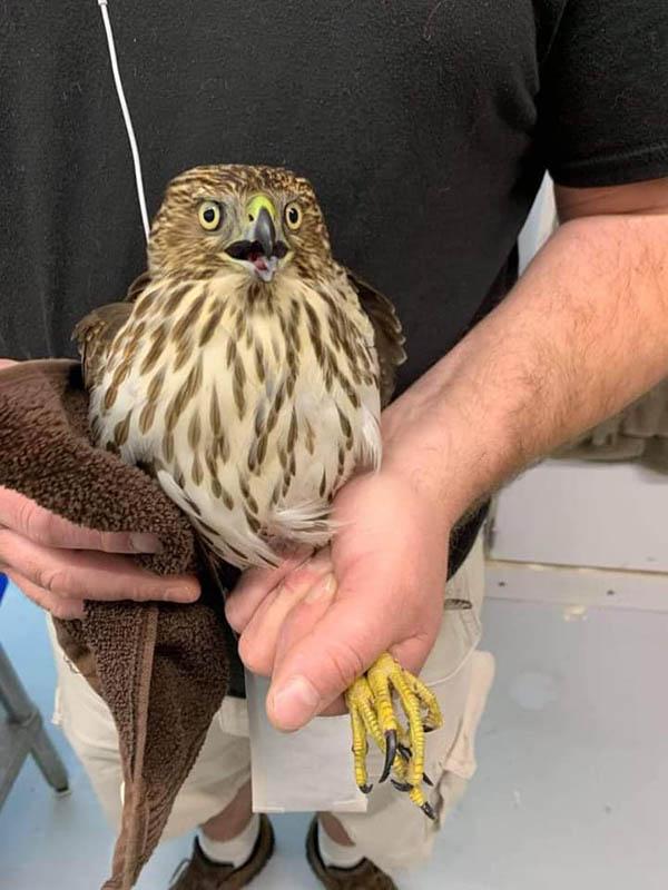 Coopers Hawk in Wildlife Rehab