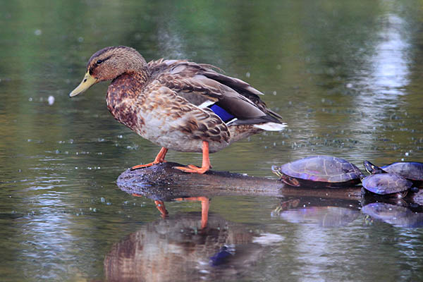 Mallard Duck and Turtles on a log