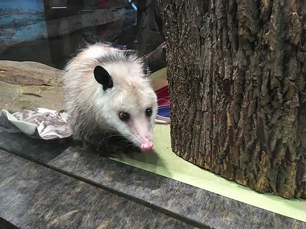 Opossum Exhibit