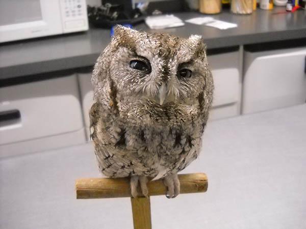 Eastern Screech Owl on perch in wildlife rehabilitation facility